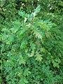 Quercus pubescens, Fagaceae 03.jpg