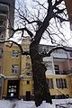 Quercus robur, Yasna Street.jpg