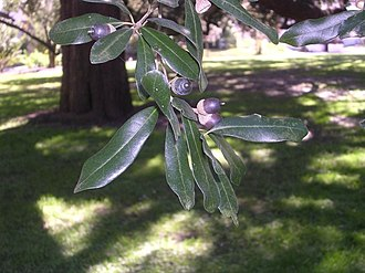 Quercus virginiana - Leaves and acorns of a southern live oak