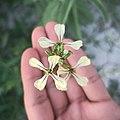Rúcula (Eruca vesicaria).jpg