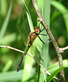 Racket-tailed Emerald, side.jpg