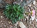 Ranunculus glacialis a3.jpg