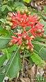 Rauwolfia serpentina Indian snakeroot fruits.jpg