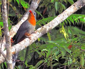 Red-billed malkoha - Image: Red billed Malkoha