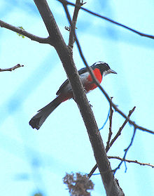 Red-breasted Chat.jpg