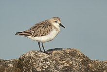Red-necked Stint - Boat Harbour.jpg