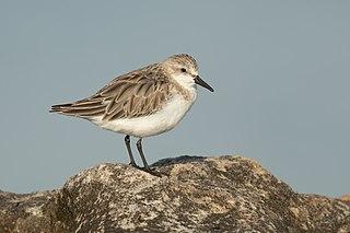 Red-necked stint Species of bird