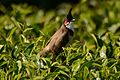 Red-whiskered bulbul (Pycnonotus jocosus) from nigiris DSC 1483.jpg