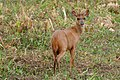 Red Brocket (Mazama americana) stag (27248714533).jpg