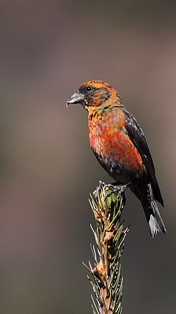 Red Crossbill Bhutan November 2018.jpg