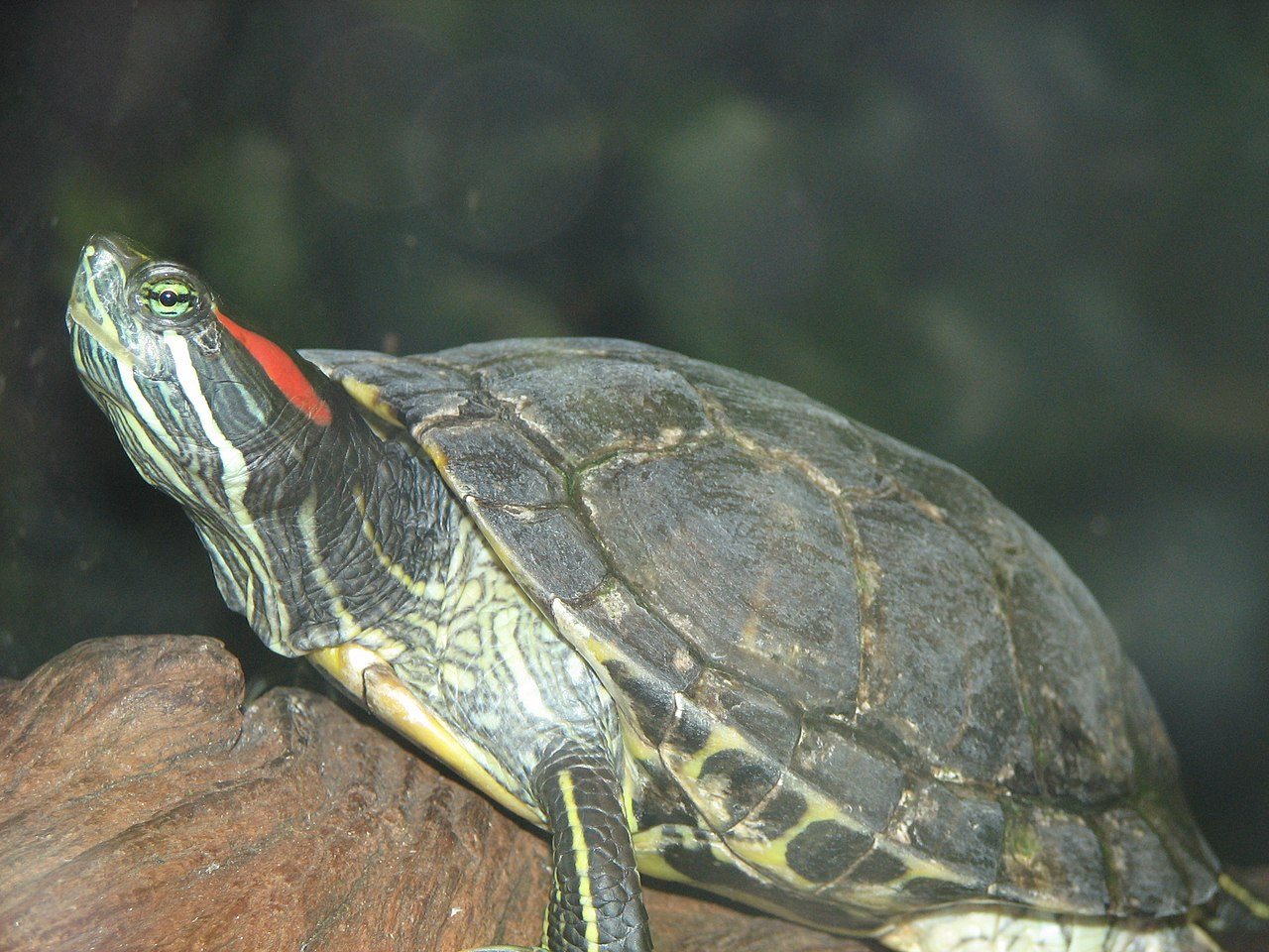 Red Eared Slider Image 001.jpg