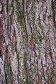 Red Maple Acer rubrum Red Bark 2000px.jpg