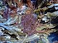 Red Seaweed Nemalion in ice 02.jpg