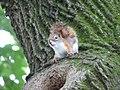 Red Squirrel (179197819).jpg