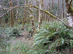 Red alder and sword fern, Oregon Coast Range.JPG