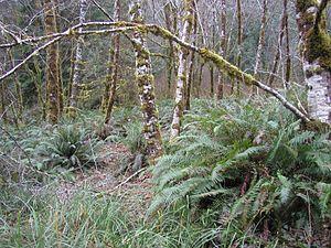 Central Oregon Coast Range - Red alder and sword fern in the Central Coast Range.