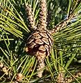 Red pine cones (52374).jpg