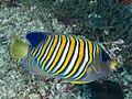 Regal angelfish (Pygoplites diacanthus) (46982093884).jpg