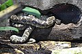 Reserve Sigean - Boa de Madagascar 03.jpg