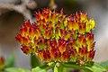 Rhodiola rosea 11.jpg
