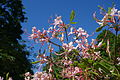 Rhododendron periclymenoides - Arnold Arboretum - DSC06627.JPG