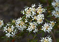 Rhododendron tomentosum E.jpg