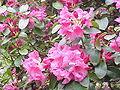 Rhododendron williamsianum3.jpg