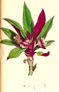 Rhoeo spathacea SmSo