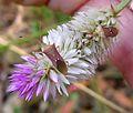 Rice Bug, Cletus rusticus. Coreidae, Coreinae, Gonocerini. - Flickr - gailhampshire.jpg