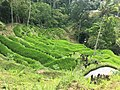 Rice terraces in Tegallalang 1.jpg