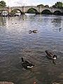 Richmond 009 Richmond Bridge with geese Oct.jpg