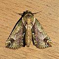 Risoba cf basalis (Nolidae- Risobinae) (23034342364).jpg