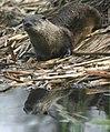 River Otter (16095450279).jpg