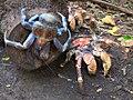 Robber Crabs (24952104493).jpg