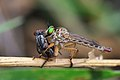 Robber Fly with kill.jpg