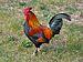 Rooster-1.jpg