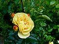 Rosa 'Lampion' - 2.jpg