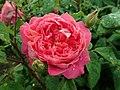Rosa Benjamin Britten 2019-06-07 1274.jpg