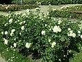 Rosa Chopin 2019-07-11 2810.jpg