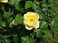 Rosa Medaglia d'oro Sarmentose.JPG