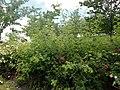 Rosa centifolia Muscosa 2020-06-23 0672.jpg