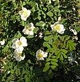 Rosa majalis inflorescence (12).jpg