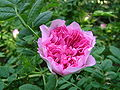Rosa roxburghii.JPG
