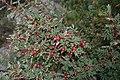 Rosa spinosissima fruit (08).jpg
