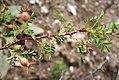 Rosa spinosissima fruit (13).jpg