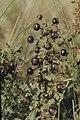 Rosa spinosissima fruit (26).jpg