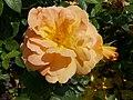 Rosarium Baden Rosa 'Bernsteinrose' Tantau 1987 01.jpg
