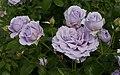Rosarium Baden Rosa 'Novalis' Kordes 2010 05.jpg