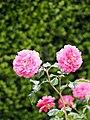 Rose, Christopher Marlowe, バラ, クリストファー マーロウ, (12867504844).jpg