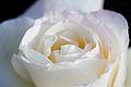 Rose, Garden Party - Flickr - nekonomania.jpg